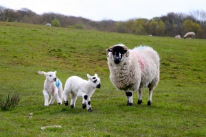 Klony - siostry owieczki Dolly - nie starzeją się szybciej
