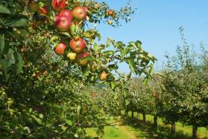 Zanim rozpoczniemy eksport jabłek do Chin, Chińczycy skontrolują polskie sady