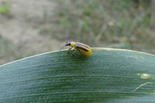 Czas zwalczania stonki kukurydzianej
