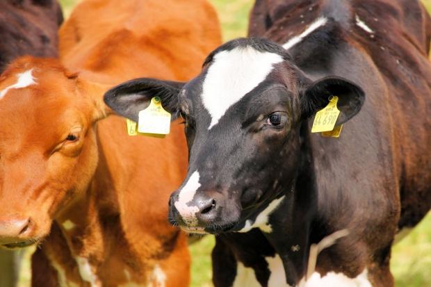 Dania: Lekki wzrost pogłowia bydła