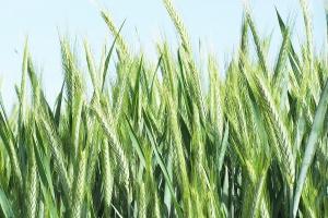Odmiany pszenżyta na każde warunki