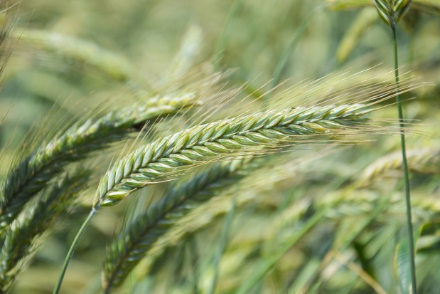 Zalecane odmiany żyta
