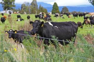 Fonterra ogłosiła wysokość płatności dla producentów