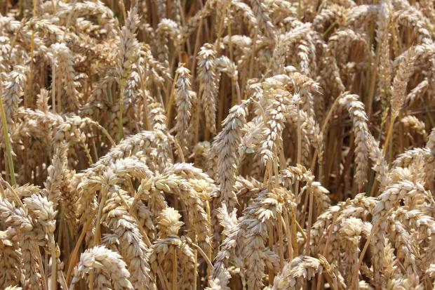 Stagnacja cen zbóż