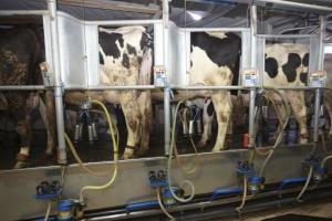 Polska: Produkcja mleka przyhamowuje