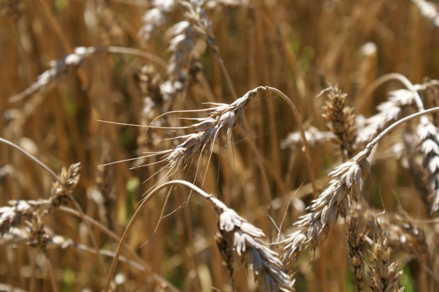 Izba Zbożowo-Paszowa: Jakość zbóż zróżnicowana regionalnie
