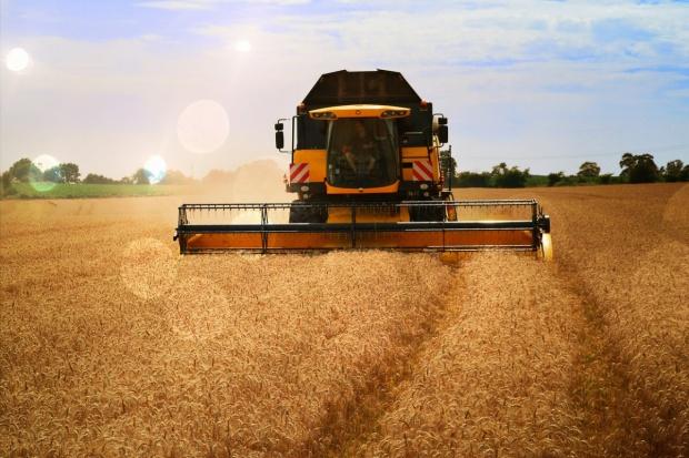 Zbiory pszenicy w UE mniejsze niż oczekiwano