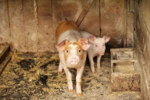 Główny Lekarz Weterynarii apeluje o zgłaszanie faktu zakupienia świń na targowisku w gminie Sokoły