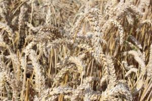 We Francji zbiory zbóż najsłabsze od 13 lat