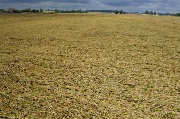 IUNG: Wysokie opady i duża wilgotność ziarna opóźniają zbiory zbóż