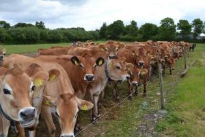Redukcja stad bydła mlecznego w Wielkiej Brytanii