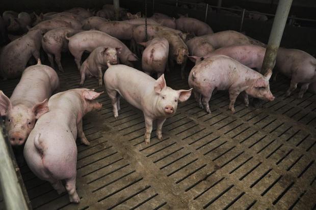 Ceny skupu świń na stałym poziomie