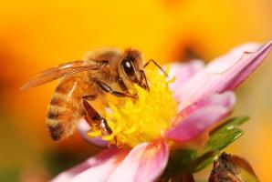 Naukowcy chcą zakazu stosowania w UE pestycydów niebezpiecznych dla pszczół