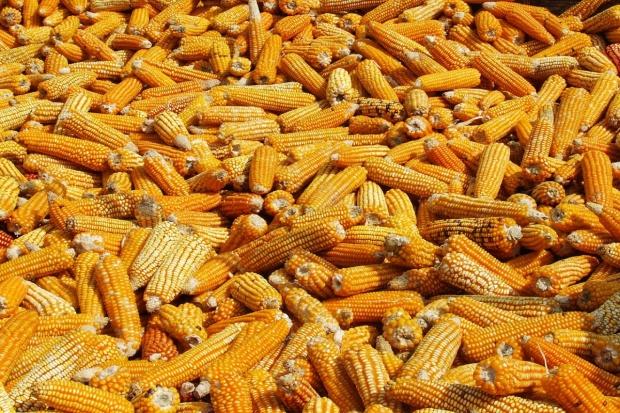 USDA: Prognoza dla rynku kukurydzy