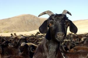 UE chce zwiększyć produkcję owiec i kóz