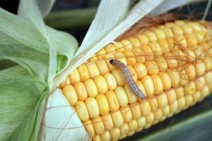 Omacnica w kukurydzy – wyraźne ślady żerowania szkodnika