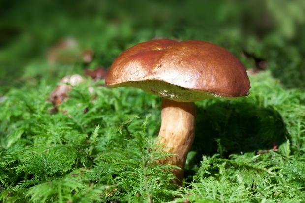 Bronisze: Duża podaż grzybów
