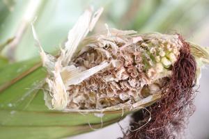 Co wygryza ziarniaki w kolbie kukurydzy?