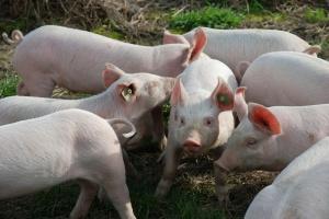 ARiMR przypomina o zasadach ochrony stada przed ASF