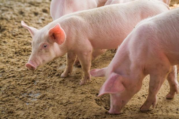 MRiRW: Przestrzeganie bioasekuracji - jedynym sposobem na ASF
