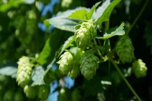 Najwięksi producenci chmielu i piwa