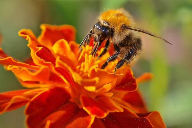 Pszczoły lubią miasto - miasto lubi pszczoły