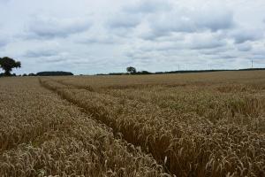 KE: Najnowsza prognoza plonów zbóż