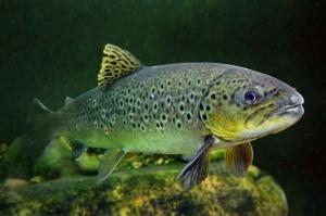 Zachodniopomorskie: Zwiększenie ochrony dzikiego tarła łososi i troci