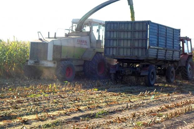 Trwają intensywne zbiory kukurydzy kiszonkowej