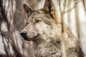 Uratowany wilk trafił do kliniki, został wydobyty ze studni