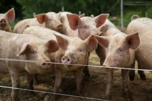 W Lubelskiem wykryto 19. w kraju ognisko ASF u świń