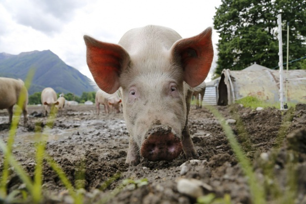 W skupach świń kolejny tydzień stabilizacji