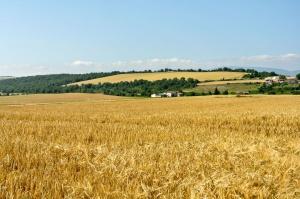 Hiszpańscy producenci zbóż oceniają tegoroczną kampanię