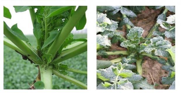 Prawidłowy pokrój roślin rzepaku jesienią to gwarancja dobrego przezimowania..jpg