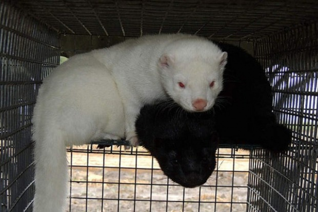 Hodowcy zwierząt futerkowych za przestrzeganiem przepisów