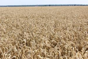 Zboże z Ukrainy zalewa Polskę