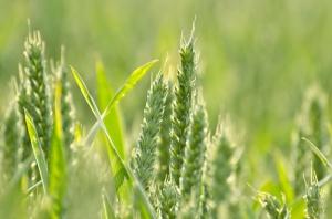 Ceny zbóż na CBOT mocno potaniały