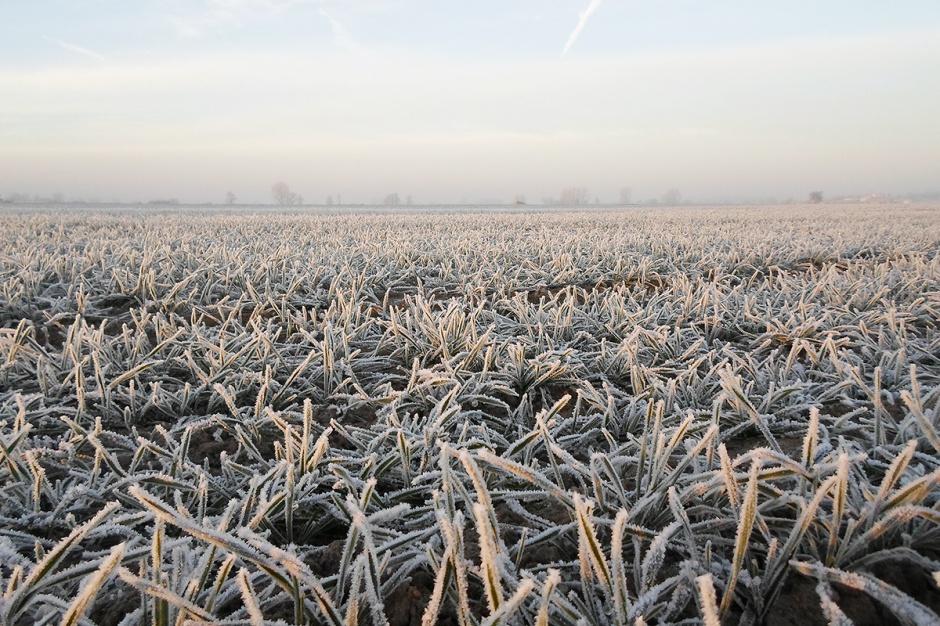 Miniona zima zweryfikowała zimotrwałość zbóż
