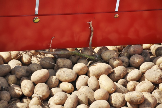 Desykacja ziemniaka – ważny element agrotechniki