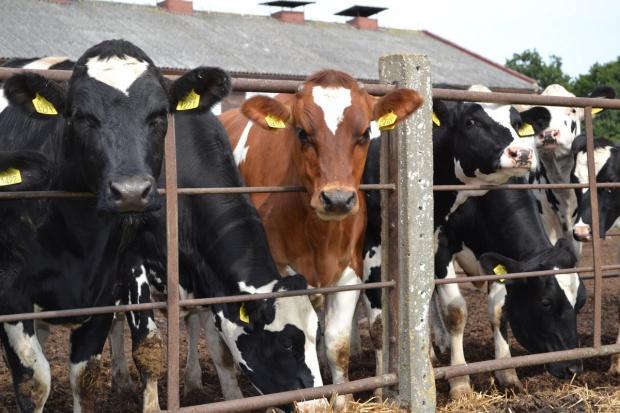 Lekki spadek pogłowia bydła