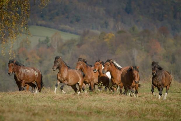90 proc. koni huculskich na świecie ma korzenie w Regietowie