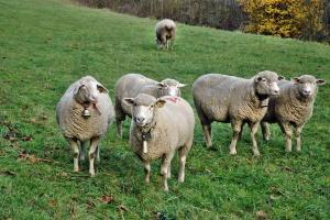 UE: Trwa spadek cen jagniąt