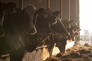 Drożeją przetwory mleczne i mleko w skupie