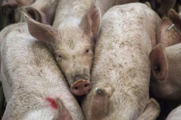 Eurostat: Możliwy spadek pogłowia świń u głównych producentów