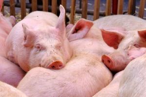 Spadły uboje świń w Wielkiej Brytanii