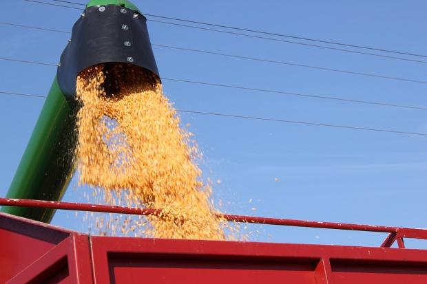 Młócą już kukurydzę na ziarno