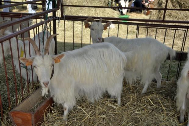 Urząd Miasta Łodzi zajął się...hodowlą kóz