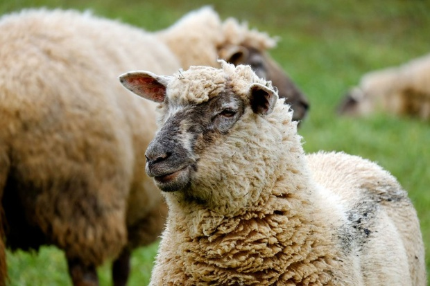 Udany sezon dla hodowców owiec; pogoda sprzyja wypasowi