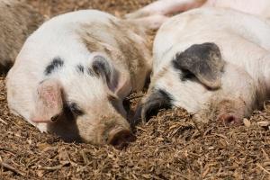 Duży spadek pogłowia świń