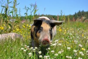 Wyraźne podwyżki cen skupu świń